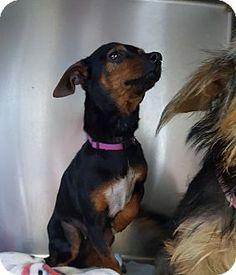 Brownsville, TX - Dachshund/Chihuahua Mix. Meet Pru, a dog for adoption. http://www.adoptapet.com/pet/17255977-brownsville-texas-dachshund-mix