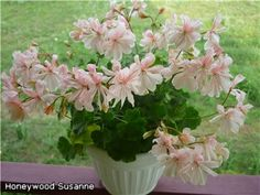 Honeywood Suzanne
