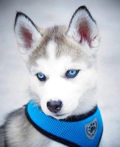 See more Beautiful Siberian Husky Dog photos,. - Where Is My Husky - Husky Beautiful, Funny Momment Photos Siberian Husky Puppies, Husky Puppy, Siberian Huskies, Baby Huskies, Tamaskan Puppies, Sweet Dogs, Cute Husky, Cute Dog Pictures, Dog Photos