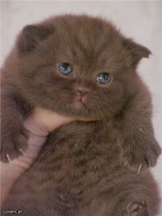 5 Things you should know about British Shorthair Cats. Click the pic to read