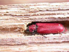Le Cardinal (Pyrochroa coccinea), comme d'autres insectes xylophages, apprécie le bois mort placé dans l'hôtel à insectes