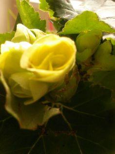 Prolific Yellow Flowers Yellow Flowers, Rose, Health, Garden, Plants, Garten, Health Care, Gardening, Roses