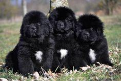 ¿Características físicas de los perros terranova?