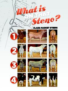 Market Steers from Oklahoma State University DRIVE Livestock Youth Magazine www.drivelivestock.com #stockshowlife #agproud