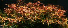 Ludwigia repens    © gyrol Plants, Plant, Planets