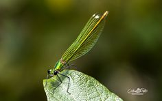 Green dragonfly by Cristian Petri on Metal, Green, Photos, Pictures, Metals