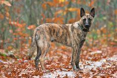 Wiebe, camouflage (Dutch Shepherd)