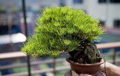 Small pine shohin