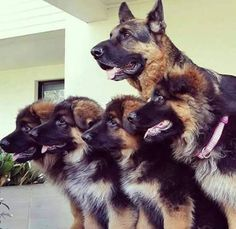 German Shepherd Posse