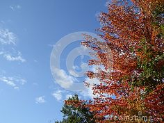 Autumn trees of orange green and gold  stand bright against blue sky and small puffy white clouds