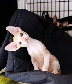 Cornish Rex breed info,Pictures,Characteristics,Hypoallergenic:Yes