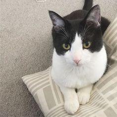 * かまってちゃんが犬のタロハナより多くてきっと自分犬だと思ってる•́‧̫•̀ w * #猫 #ねこ #黒白猫 #ハチワレ #はちわれ #猫バカ #ねこ部 #愛猫 #にゃんこ #ニャンコ #保護猫 #捨て猫 #ふわもこ部 #猫好きな人と繋がりたい #nekoclub #NEKOくらぶ #みんねこ #みんなのねこ部 #cat #ilovecat #catlove #catsofinstagram #instagramcats #catoftheday #catstagram #cute #kitty #blackandwhitecat