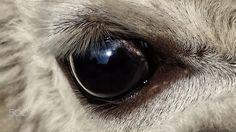 Auge eines Alpaka - null