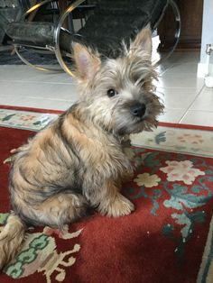 What a cutie! Cute Puppies, Cute Dogs, Dogs And Puppies, Doggies, Cairn Terrier Puppies, Terrier Mix, Glen Of Imaal Terrier, Norwich Terrier, Scottish Terrier