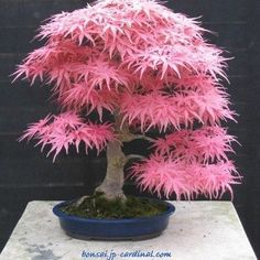 Arce japonés Bonsai Bello!!! இڿڰۣ-ڰۣ— ❀ ✿Δ♪