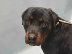 SAFE - 01/06/16 - BRUSTER - #A1061449 - Super Urgent Brooklyn - MALE BLACK/TAN ROTTWEILER MIX, 2 Yrs  STRAY - NO HOLD Intake 12/26/15 due Out 12/29/15 - TENSE AND NERVOUS BUT CALMS DOWN ONCE YOU TALK BABY TALK TO HIM - CAME IN WITH MISTY #A1061454