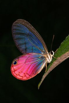 Cithaerias Aurorina or Pink Glasswing butterfly inhabits Northern Amazonia: Columbia, Equador, Bolivia.