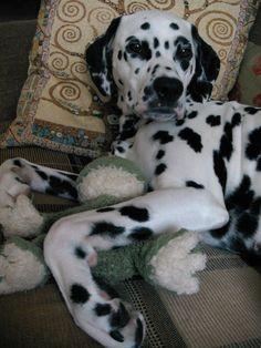 Lika - Dalmatian #dog
