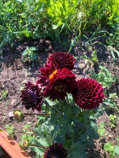 Dahlia, Garden, Flowers, Plants, Garten, Lawn And Garden, Flora, Gardening, Royal Icing Flowers