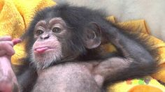 Cute Funny Animals, Cute Baby Animals, Animals And Pets, Animal Magic, My Animal, Baby Chimpanzee, Cute Baby Monkey, Tier Fotos, Cool Pets