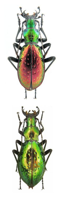 Carabus (Chrysocarabus) rutilans perignitus Carabus (Chrysocarabus) rutilans…