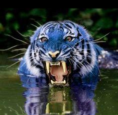 An actual blue Maltese Tiger :