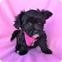 Adopt A Pet :: Gabby Maltipoo Puppy - Burbank, CA