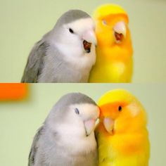 Terrific - Pet Birds For Sale That Talk Funny Birds, Cute Birds, Pretty Birds, Cute Funny Animals, Cute Baby Animals, Beautiful Birds, Animals And Pets, Cute Creatures, Beautiful Creatures