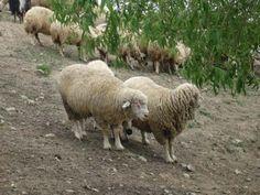 Küçük Baş Hayvanlarımız (Koyun,Kuzu,Koç) Alım Satımları Devam Etmekte Ve Sadece http://inekdana.com/ sitesine girerek bakabilirsiniz.