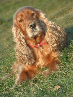 "Click visit site and Check out Best ""English Cocker Spaniel"" T-shirts. This website is outstanding. Tip: You can search ""your name"" or ""your favorite shirts"" at search bar on the top."