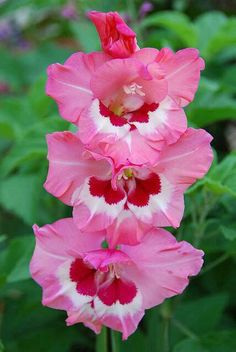 Gladiolus A wonderful Summer Flower Saiba mais sobre dicas de jardinagem em: www.asenhoradomon The post Gladiolus A wonderful Summer Flower appeared first on Ideas Flowers. Colorful Roses, Exotic Flowers, Amazing Flowers, My Flower, Pink Flowers, Beautiful Flowers, Gladiolus Flower, Flower Petals, Flowers Pics