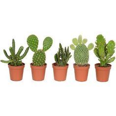 Mix kaktusov priemer kvetináča cca 5,5 cm nakúpiť v OBI
