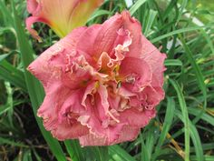 WORD OF HONOR - DOUBLE DAYLILY.  We have a wide selection of double formed daylilies in our display garden and for sale in our sales garden. Tom specializes in double daylilies and can help you with your selections. We will have a good supply of WORD OF HONOR this year but come early because the doubles sell rather quickly after customers see them in bloom in the display garden. #daylily