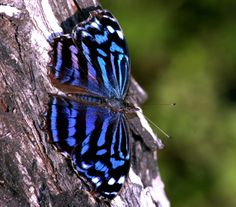 Mexican Blue Wing Butterfly