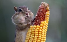 TOP 10 Photos of hungry Chipmunks