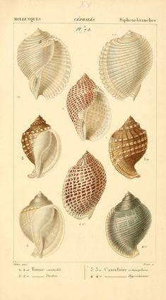Malacozoaires, ou, Animaux mollusques A Paris :Chez F.-G. Levrault,[1828?-1830?] biodiversitylibrary.org/page/24432366