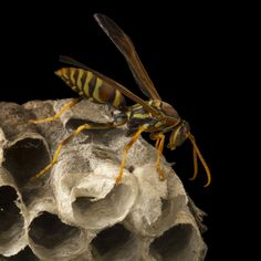 Within their immediate area (often around the home), wasp nests and bee hives cause danger, which is why successful bee removal is so critical. #pestcontrolservice #pest #waspcontrol #pestmanagement #Werribee Hives Causes, Bee Removal, Wasp Nest, Pest Management, Pest Control Services, Bee Hives, Nests, Brisbane, Animals