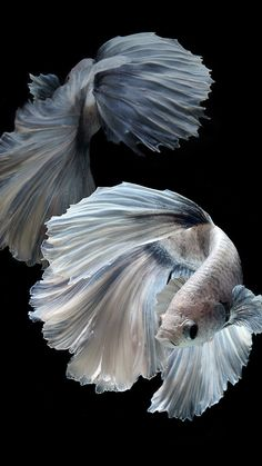 Common Betta Fish Diseases - Betta Fish Care - A Betta Fish Must Read! Koi Betta, Betta Fish Care, Betta Tank, Fish Tank, Colorful Fish, Tropical Fish, Freshwater Aquarium, Aquarium Fish, Beautiful Fish