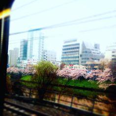 電車の窓なら桜を見る。     #Tokyo   #総武線