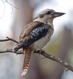 Le Martin-chasseur géant ou kookaburra, oiseau célèbre en Australie pour son cri.