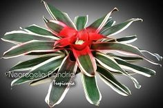 #Bromeliad #houseplants - Neoregelia 'Flandria' - http://www.houseplant411.com/houseplant/bromeliad-how-to-grow-care-tips: