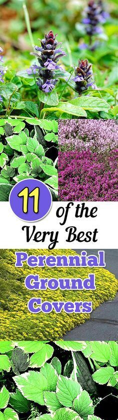 11 of the top perennial ground cover plants for your yard and landscape.