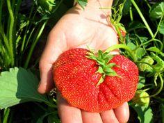 5 приемов, которые увеличат размер ягод клубники в два раза