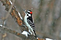 Hairy Woodpecker The Great Backyard Bird Count by Brian Oyer