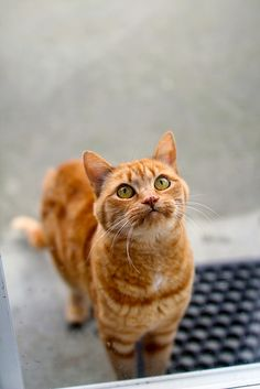 """""""Cats seem to go in the principle that it never does any harm to ask for what you want."""" --Joseph Wood Krutch"""