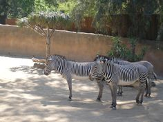 zebras at the Los Angeles zoo.  I love zebras and patterns.