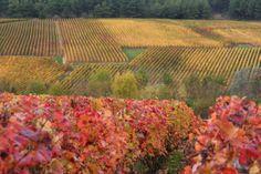 Couleurs automnales - Photographies Patrick Jassiones Champagne Region, Ardennes, Vineyard, France, Outdoor, Dawn, Photographs, Landscapes, Colors