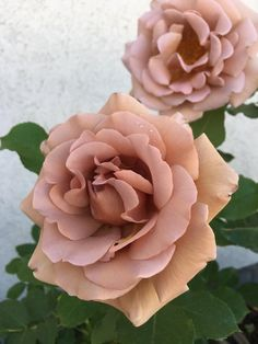Bought my first rose this week. These Koko Loko roses are an amazing color and smell delicious! Flower Names, Flower Art, Beautiful Roses, Amazing Flowers, Aesthetic Photography Nature, Gardening, Red Roses, Planting Flowers, Floral Arrangements