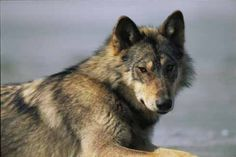 The Vancouver Island wolf is of medium sized, measuring roughly 26 to 32 inches high, 4 to 5 feet from nose to end of tail, and weighing 65 to 90 pounds.   It is usually a mix of grey, brown, and black.  Occasionally, they are seen pure white.