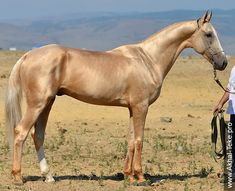 Akhal-Teke Magas - Stallion - Fakirpelvan Line - 2010 -  (Gazanch - Mesele 2 ).....(2016/02/22). The breed is very similar to, and possibly the direct descendant of the Turkoman horse, a breed believed to be extinct, though a related strain may be bred today in Iran. Other breeds or strains with Turkoman roots also include the Yomud, Goklan and the Nokhorli. Some historians believe that the two are different strains of the same breed.